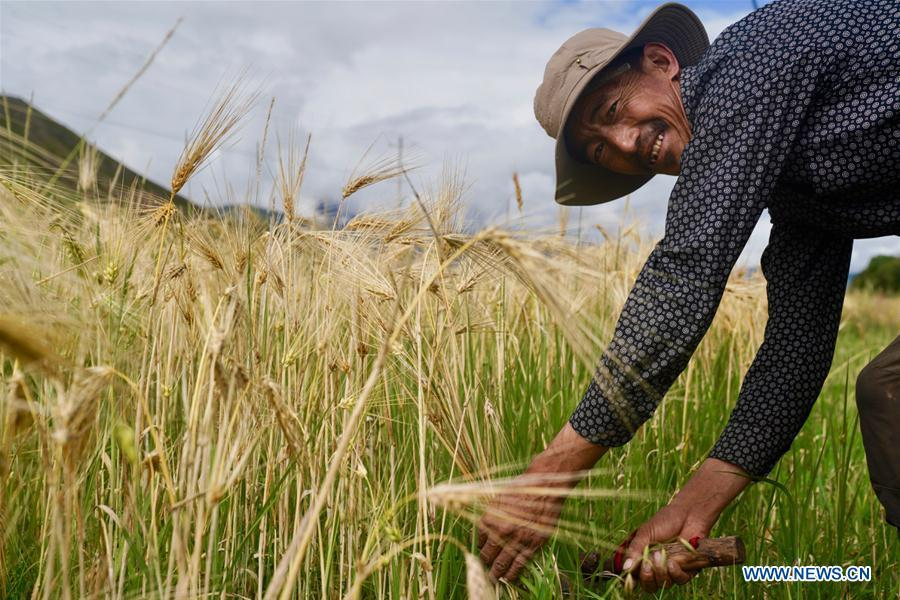 A farmer reaps highland barley in Lhunzhub County of Lhasa, southwest China\'s Tibet Autonomous Region, Sept. 3, 2018. The highland barley in Tibet is entering harvest season. (Xinhua/Purbu Zhaxi)