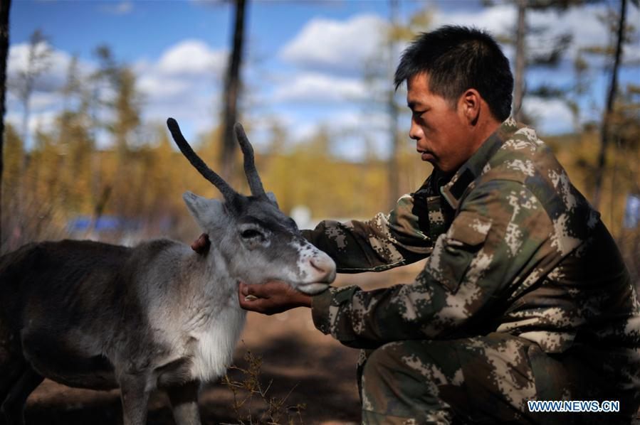 Forester Zhang Guohua takes care of reindeer in Yue\'anli Forest Farm of Genhe forestry bureau in the Greater Khingan Mountains of north China\'s Inner Mongolia Autonomous Region, Sept. 18, 2018. Staff members at Yue\'anli Forest Farm are responsible for the conservation and breeding work of reindeer in China. (Xinhua/Yu Yang)