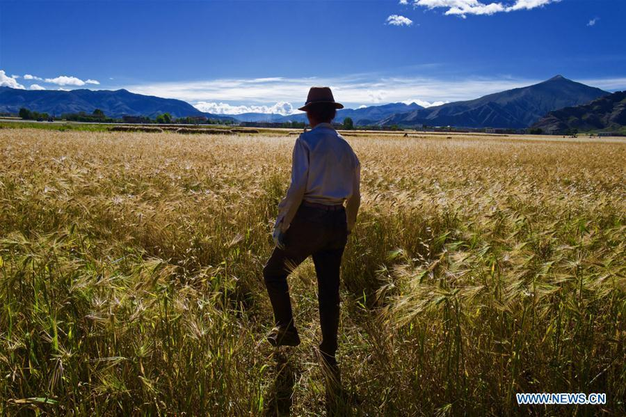 A farmer inspects highland barley in Lhaze County of Xigaze, southwest China\'s Tibet Autonomous Region, Sept. 13, 2018. The highland barley in Tibet is entering harvest season. (Xinhua/Purbu Zhaxi)