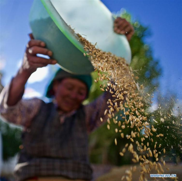A farmer harvests highland barley in Caina Township in Quxu County of Lhasa, southwest China\'s Tibet Autonomous Region, Sept. 16, 2018. The highland barley in Tibet is entering harvest season. (Xinhua/Purbu Zhaxi)
