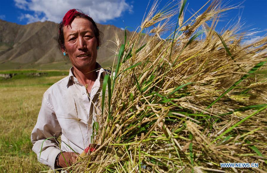 A farmer harvests highland barley in Lhaze County of Xigaze, southwest China\'s Tibet Autonomous Region, Sept. 13, 2018. The highland barley in Tibet is entering harvest season. (Xinhua/Purbu Zhaxi)