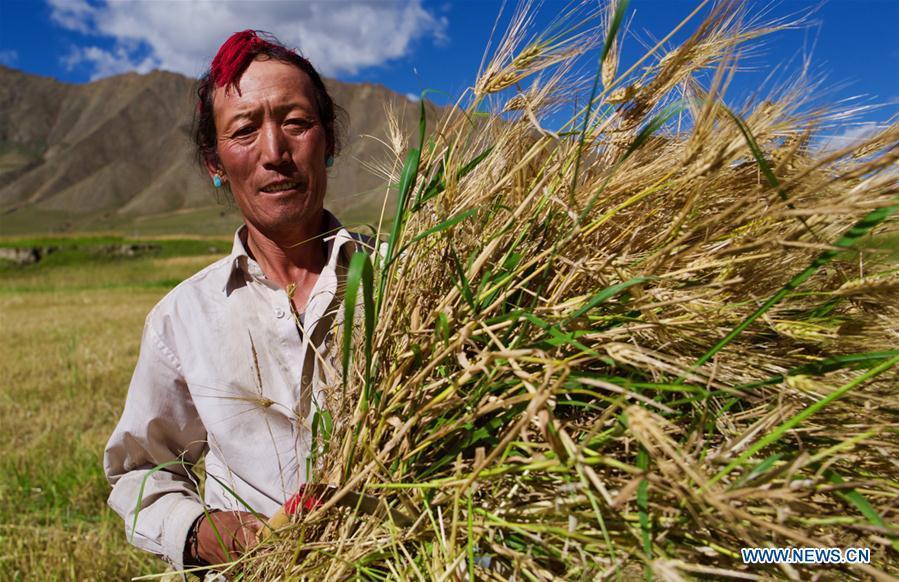 A farmer harvests highland barley in Lhaze County of Xigaze, southwest China\'s Tibet Autonomous Region, Sept. 13, 2018. The highland barley in Tibet is entering harvest season. (Xinhua/Purbu Zhaxi)