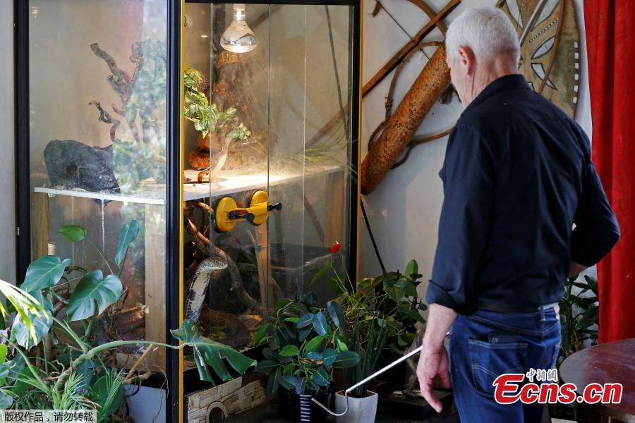 Philippe Gillet, 67 year-old Frenchman who lives with more than 400 reptiles and tamed alligators, looks at his black cobra in his living room in Coueron near Nantes, France, Sept. 19, 2018. (Photo/Agencies)