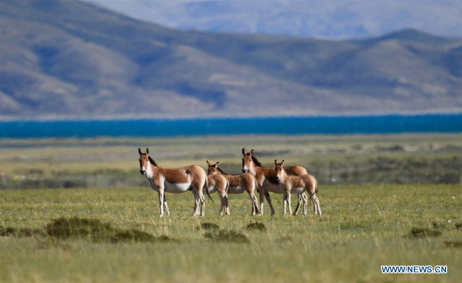 Photo taken on Sept. 8, 2018 shows Tibetan wild donkeys, a species under first-class national protection, in Ali Prefecture, southwest China\'s Tibet Autonomous Region. Ali Prefecture, with an average altitude of above 4,500 meters and an area of more than 300,000 square kilometers, is located in the western part of the Tibetan region. The Changtang National Natural Reserve here is the habitat of a variety of wild animals. (Xinhua/Purbu Zhaxi)