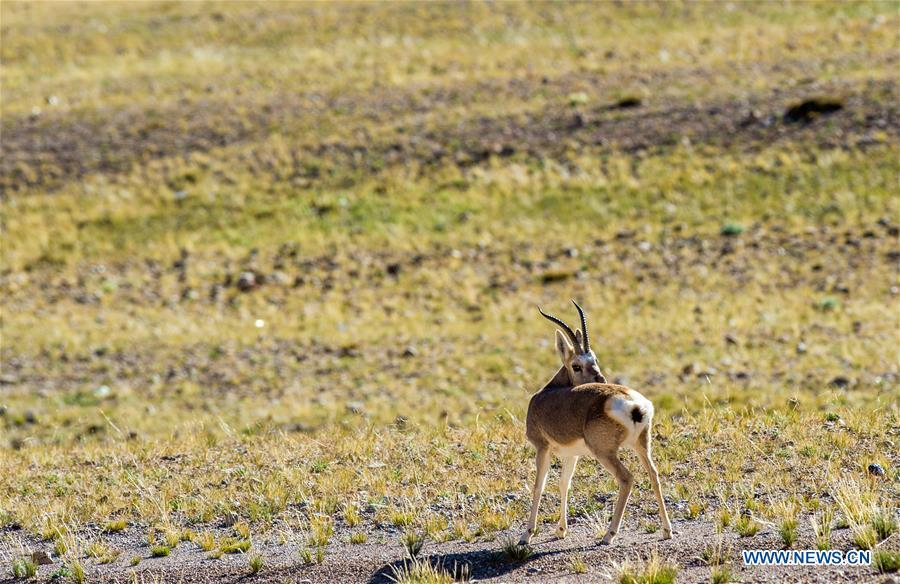 Photo taken on Sept. 19, 2018 shows a Tibetan gazelle, a species under second-class national protection, in Ali Prefecture, southwest China\'s Tibet Autonomous Region. Ali Prefecture, with an average altitude of above 4,500 meters and an area of more than 300,000 square kilometers, is located in the western part of the Tibetan region. The Changtang National Natural Reserve here is the habitat of a variety of wild animals. (Xinhua/Dainzin Nyima Choktrul)