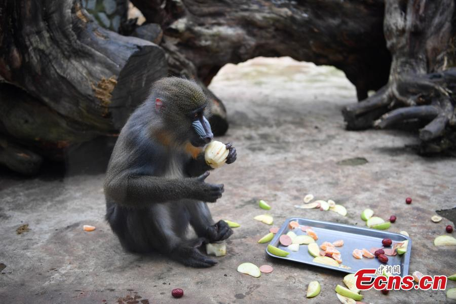 Special moon cakes made with ingredients like fish and fruits are fed to animals at a zoo in Nanning City, South China's Guangxi Zhuang Autonomous Region, Sept. 20, 2018. The zoo organized a moon cake cooking event ahead of the Mid-Autumn Festival on Sept. 24. (Photo: China News Service/Yu Jing)