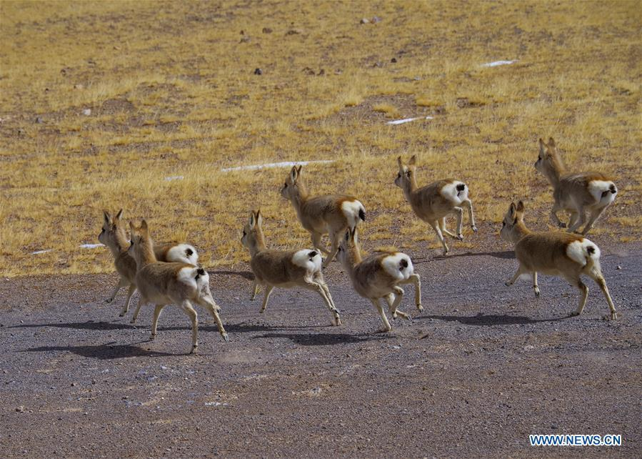 Photo taken on March 15, 2018 shows Tibetan gazelles, a species under second-class national protection, in Ali Prefecture, southwest China\'s Tibet Autonomous Region. Ali Prefecture, with an average altitude of above 4,500 meters and an area of more than 300,000 square kilometers, is located in the western part of the Tibetan region. The Changtang National Natural Reserve here is the habitat of a variety of wild animals. (Xinhua/Liu Dongjun)