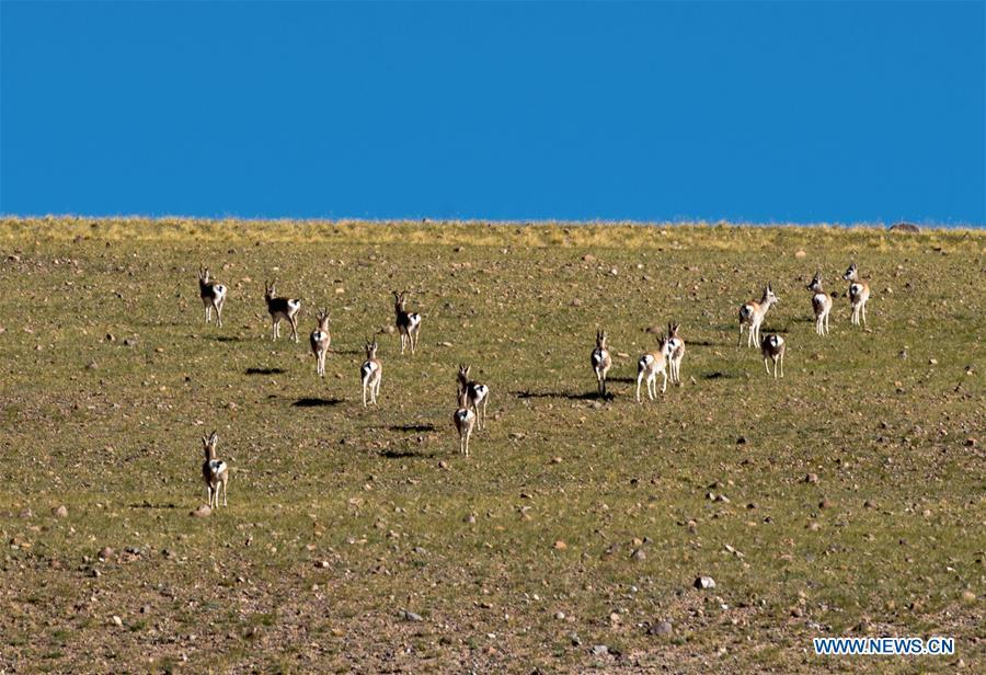 Photo taken on Sept. 19, 2018 shows Tibetan gazelles, a species under second-class national protection, in Ali Prefecture, southwest China\'s Tibet Autonomous Region. Ali Prefecture, with an average altitude of above 4,500 meters and an area of more than 300,000 square kilometers, is located in the western part of the Tibetan region. The Changtang National Natural Reserve here is the habitat of a variety of wild animals. (Xinhua/Dainzin Nyima Choktrul)