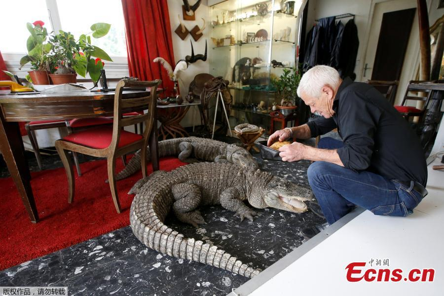 Philippe Gillet, 67 year-old Frenchman who lives with more than 400 reptiles and tamed alligators, gives chicken to his alligators Ali and Gator in his living room in Coueron near Nantes, France, Sept. 19, 2018. (Photo/Agencies)