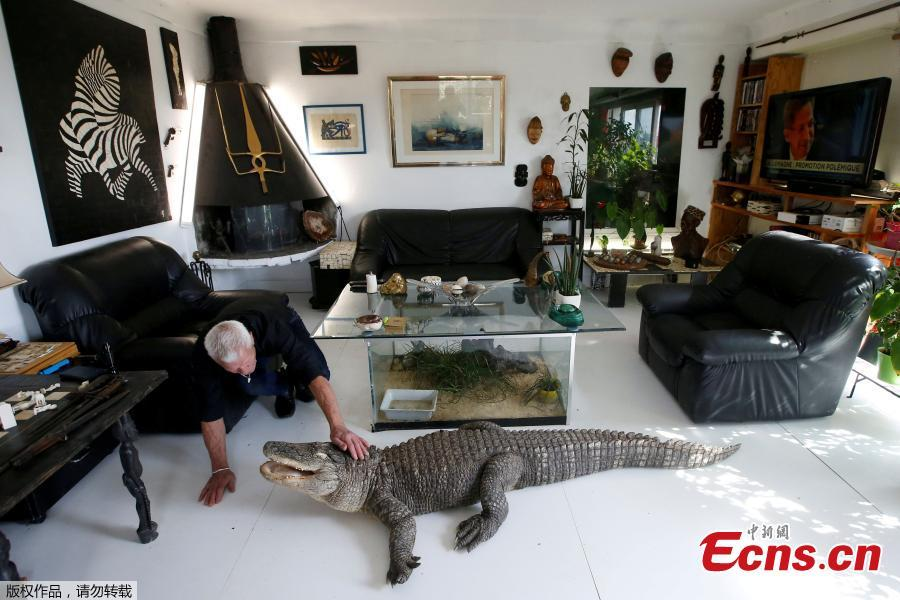 Philippe Gillet, 67 year-old Frenchman who lives with more than 400 reptiles and tamed alligators, gives chicken to his alligator Ali in his living room in Coueron near Nantes, France, Sept. 19, 2018.  (Photo/Agencies)