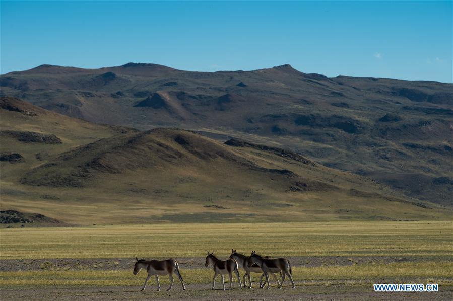 Photo taken on Sept. 19, 2018 shows Tibetan wild donkeys, a species under first-class national protection, in Ali Prefecture, southwest China\'s Tibet Autonomous Region. Ali Prefecture, with an average altitude of above 4,500 meters and an area of more than 300,000 square kilometers, is located in the western part of the Tibetan region. The Changtang National Natural Reserve here is the habitat of a variety of wild animals. (Xinhua/Dainzin Nyima Choktrul)