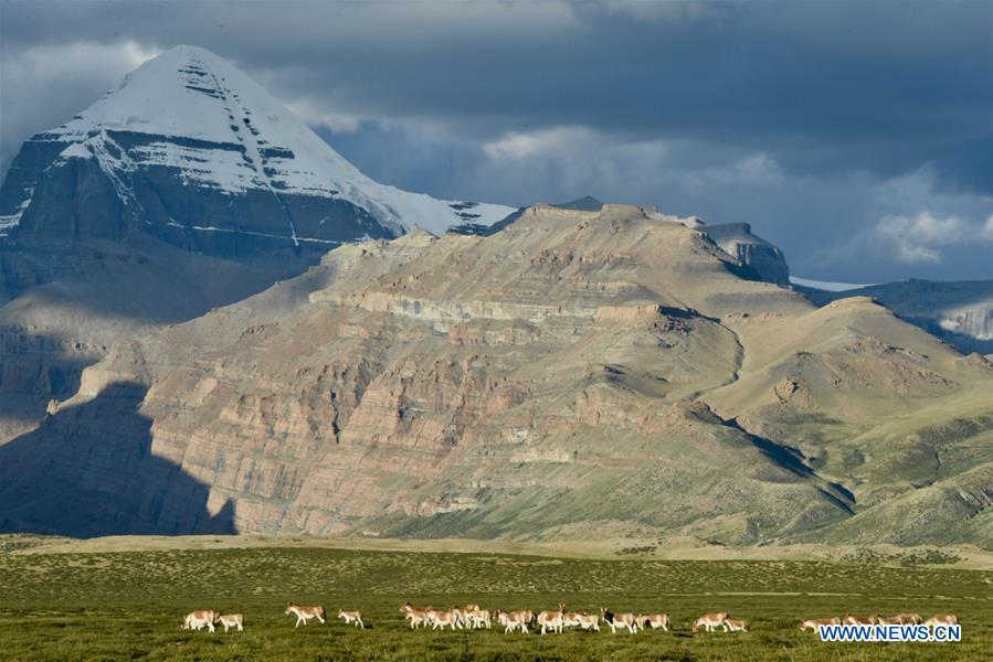 Photo taken on Sept. 11, 2018 shows Tibetan wild donkeys, a species under first-class national protection, at the foot of Mount Kangrinboqe in Ali Prefecture, southwest China\'s Tibet Autonomous Region. Ali Prefecture, with an average altitude of above 4,500 meters and an area of more than 300,000 square kilometers, is located in the western part of the Tibetan region. The Changtang National Natural Reserve here is the habitat of a variety of wild animals. (Xinhua/Purbu Zhaixi)