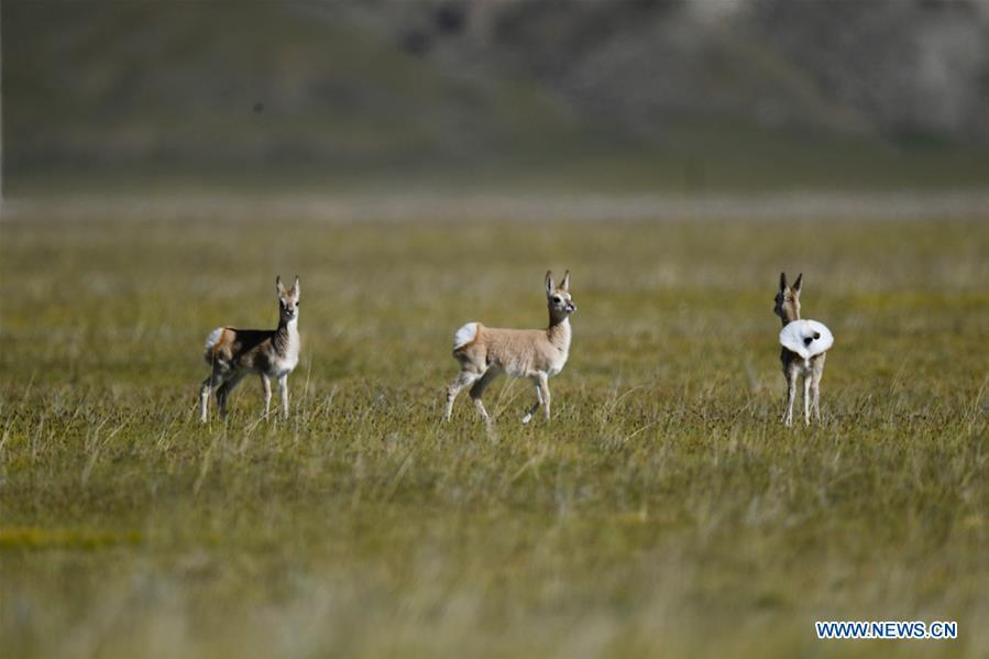 Photo taken on Sept. 8, 2018 shows Tibetan gazelles, a species under second-class national protection, in Ali Prefecture, southwest China\'s Tibet Autonomous Region. Ali Prefecture, with an average altitude of above 4,500 meters and an area of more than 300,000 square kilometers, is located in the western part of the Tibetan region. The Changtang National Natural Reserve here is the habitat of a variety of wild animals. (Xinhua/Purbu Zhaxi)