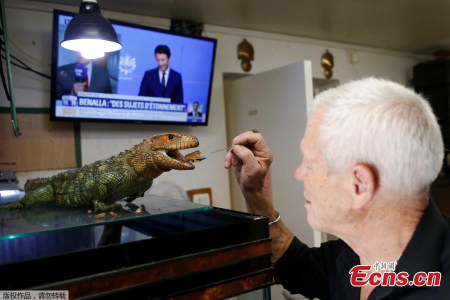 Philippe Gillet, 67 year-old Frenchman who lives with more than 400 reptiles and tamed alligators, feeds his Northern caiman lizard in his house in Coueron near Nantes, France, Sept. 19, 2018. (Photo/Agencies)