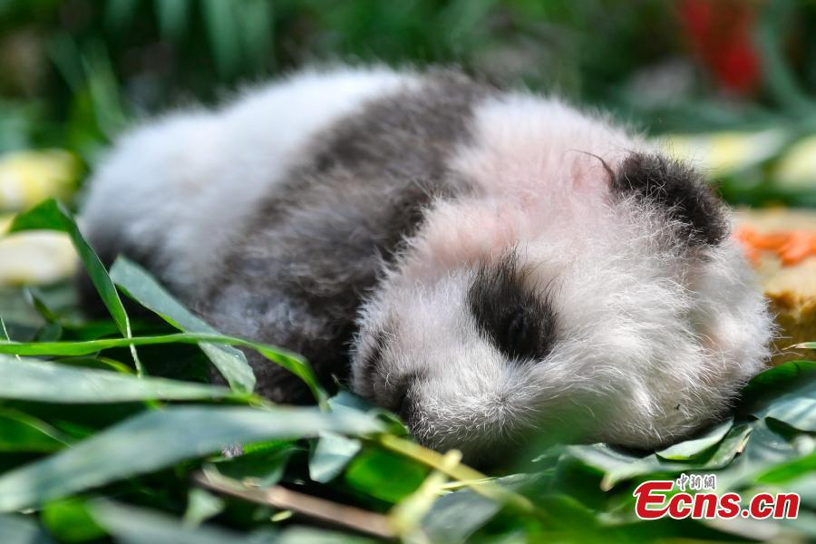 Giant panda cub Longzai makes its public debut with his mother Longlong at the Chimelong Safari Park in Guangzhou, South China's Guangdong province on September 20, 2018. Giant panda cub Longzai was born at the park on July 12. (Photo: China News Service/ Chen Jimin)