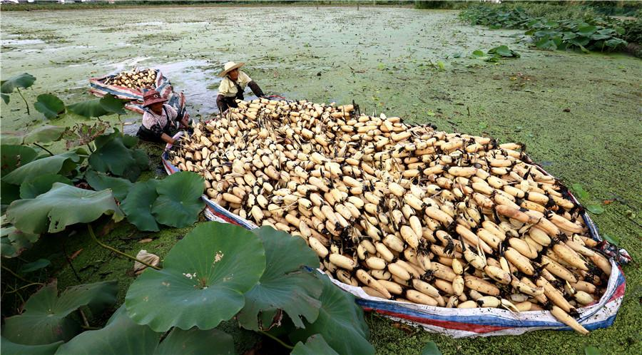Two farmers transfer lotus roots in Duntou town in Haian, Jiangsu province on Sept 12. In early autumn, farmers in Duntou harvest nearly 66 hectares of shallow water lotus roots. (Xiang Zhonglin/For China Daily)