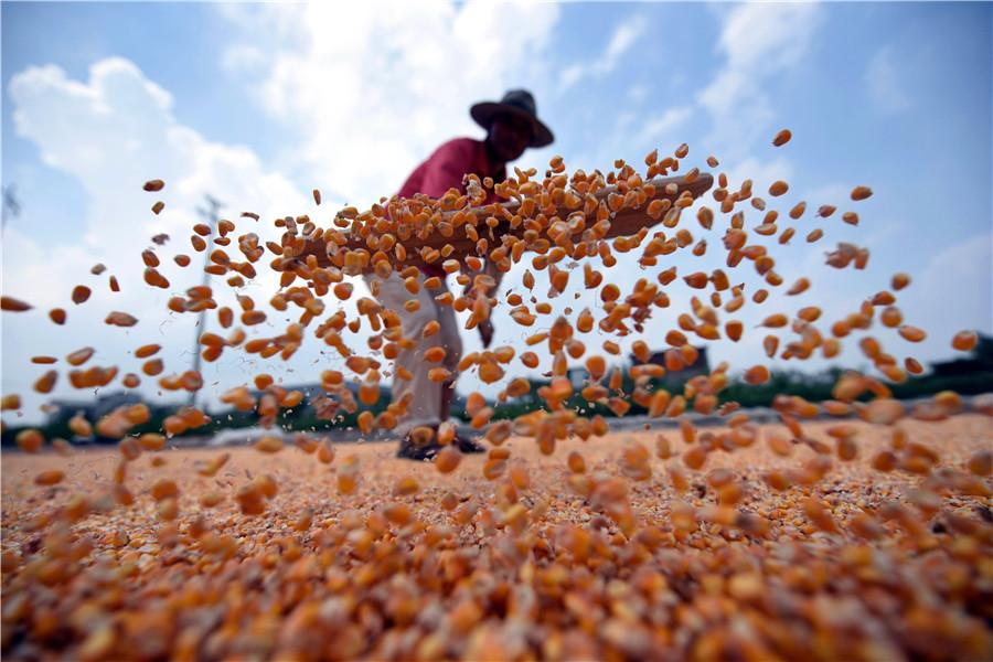A farmer in the town of Matou in Tancheng county, Shandong province weathers spring corn on Aug 30. Called the granary of south Shandong, Tancheng county hosts more than 6,600 hectares of spring corn. (Pand Dehua/For China Daily)