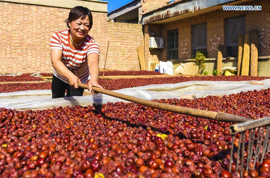 A farmer prepares harvested red dates for air-drying in Mengjiazhuang Village of Zaoqiang Township in Zaoqiang County, north China\'s Hebei Province, Sept. 22, 2018. China will mark its first Farmers\' Harvest Festival on Sept. 23 this year. From 2018 on, the festival, to be celebrated on the Autumnal Equinox each year, is set to be observed annually to greet the harvest season and honour the agricultural workers. (Xinhua/Li Xiaoguo)