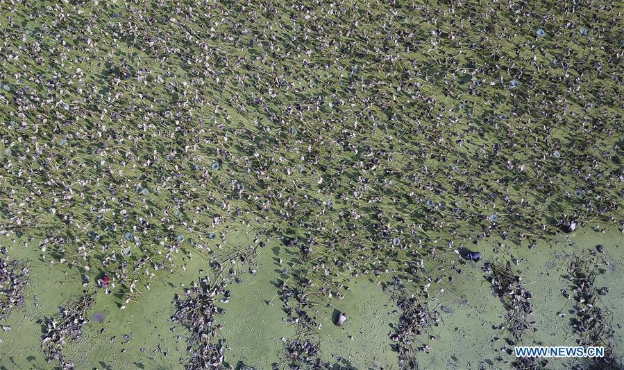 In this aerial photo taken on Sept. 18, 2018, workers dig lotus roots in Wudang Village of Jiangxia District in Wuhan, central China\'s Hubei Province. In Hubei Province, this year\'s autumn harvest of lotus roots is underway. Stooping down in waist-deep ponds with feet submerged in mud, each worker holds a high-pressure water gun in one hand and grope for ripe lotus roots with another. The lotus root is one of the most widely used aquatic vegetables in Chinese cooking. The total cultivation area of lotus roots in China is estimated between 3,300 and 4,000 square kilometers, making the country the largest lotus root producer in the world. In recent years, agricultural researchers in Hubei Province have cultivated and promoted new varieties of lotus roots to offer alternatives to producers and customers. (Xinhua/Yin Gang)