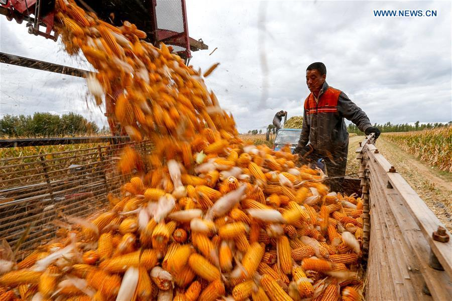 A villager loads harvested corn ears onto a truck in Beisanjia Village of Aohan Banner in north China\'s Inner Mongolia Autonomous Region, Sept. 22, 2018. China will mark its first Farmers\' Harvest Festival on Sept. 23 this year. From 2018 on, the festival, to be celebrated on the Autumnal Equinox each year, is set to be observed annually to greet the harvest season and honour the agricultural workers. (Xinhua/Yu Dongsheng)