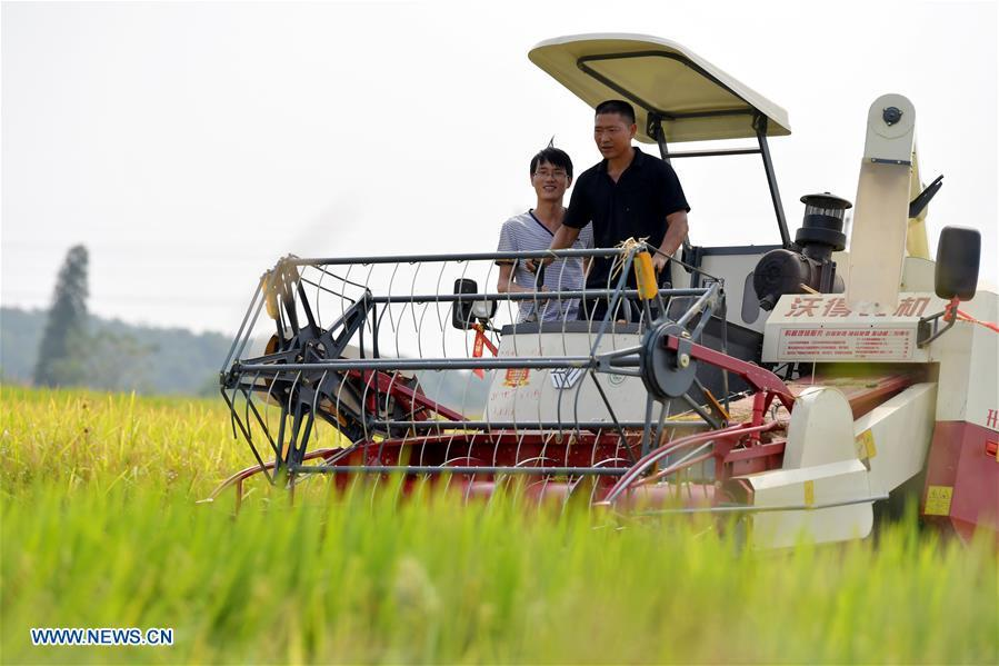 Zhou Xiaolin (R) and Zhou Biao harvest rice in Liutian Village of Xinjian District in Nanchang, east China\'s Jiangxi Province, Sept. 21, 2018. When every harvest season for middle-season rice begins in September, Zhou Xiaolin, a rice grower, and his son Zhou Biao will always offer help to other farmers with the harvest, because few families nearby own multiple farm machineries that suffice the workload. Born in Liutian Village, Zhou Xiaolin used to be a carpenter away from home. In 2005, he returned home to take on rice growing. Two years later, Zhou Xiaolin and Zhou Biao expanded the scale of their rice growing by contracting to take over the village\'s uncultivated croplands. To meet the increasing production demand, Zhou bought the first farm machine in the village. Currently, Zhou Xiaolin and Zhou Biao have nearly 50 hectares of farmland under cultivation in the village. Altogether they own two combine harvesters, two rice transplanters and a tractor, which have made production even more efficient. An increasing number of rice growers nearby have started to use Zhou Xiaolin\'s machines and services for a reasonable price. \