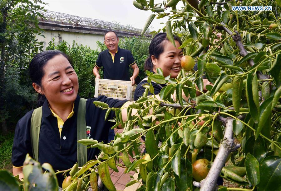 Workers of a research institute pick a new variety of winter dates in Zhanhua District of Binzhou, east China\'s Shandong Province, Sept. 21, 2018. China will mark its first Farmers\' Harvest Festival on Sept. 23 this year. From 2018 on, the festival, to be celebrated on the Autumnal Equinox each year, is set to be observed annually to greet the harvest season and honour the agricultural workers. (Xinhua/Zhu Zheng)