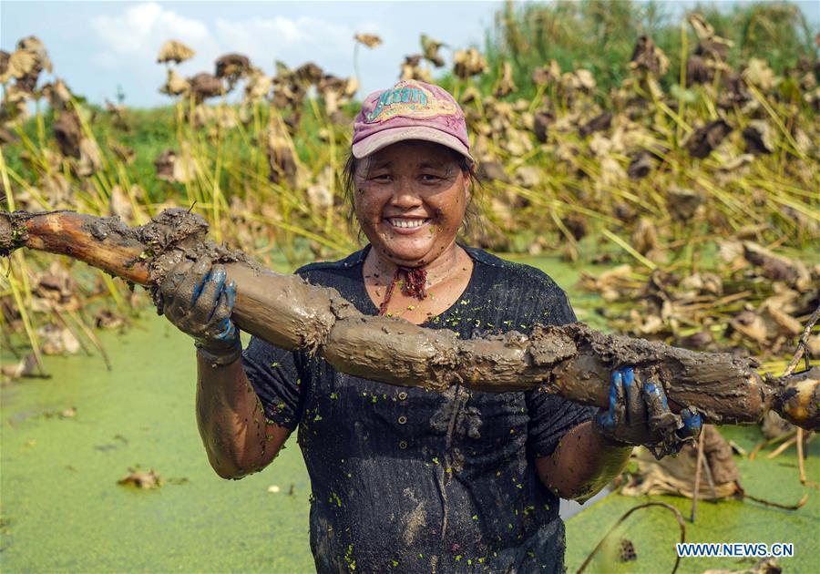 A worker shows a lotus root she dug up in Wudang Village of Jiangxia District in Wuhan, central China\'s Hubei Province, Sept. 18, 2018. In Hubei Province, this year\'s autumn harvest of lotus roots is underway. Stooping down in waist-deep ponds with feet submerged in mud, each worker holds a high-pressure water gun in one hand and grope for ripe lotus roots with another. The lotus root is one of the most widely used aquatic vegetables in Chinese cooking. The total cultivation area of lotus roots in China is estimated between 3,300 and 4,000 square kilometers, making the country the largest lotus root producer in the world. In recent years, agricultural researchers in Hubei Province have cultivated and promoted new varieties of lotus roots to offer alternatives to producers and customers. (Xinhua/Yin Gang)