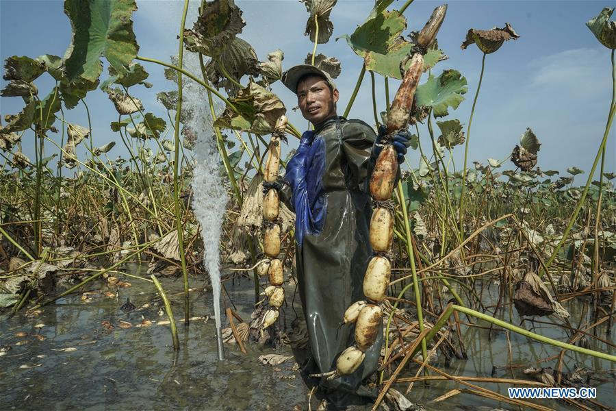 A worker shows lotus roots he dug up in Lihua Village of Chenhu Township in Hanchuan, central China\'s Hubei Province, Sept. 19, 2018. In Hubei Province, this year\'s autumn harvest of lotus roots is underway. Stooping down in waist-deep ponds with feet submerged in mud, each worker holds a high-pressure water gun in one hand and grope for ripe lotus roots with another. The lotus root is one of the most widely used aquatic vegetables in Chinese cooking. The total cultivation area of lotus roots in China is estimated between 3,300 and 4,000 square kilometers, making the country the largest lotus root producer in the world. In recent years, agricultural researchers in Hubei Province have cultivated and promoted new varieties of lotus roots to offer alternatives to producers and customers. (Xinhua/Yin Gang)