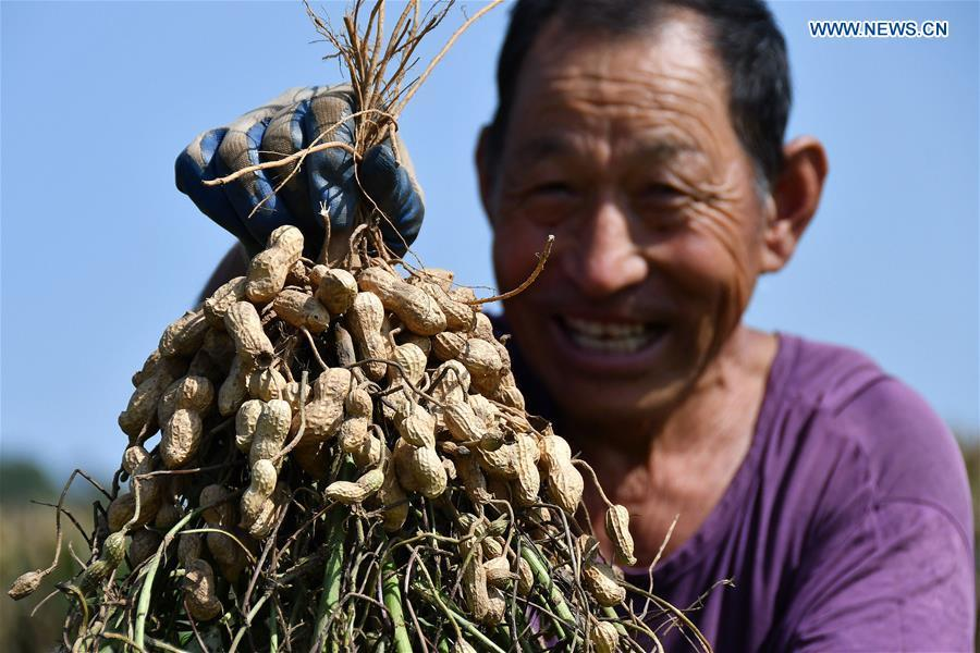 A farmer shows harvested peanuts at a peanut planting base in Yantai, east China\'s Shandong Province, Sept. 22, 2018. China will mark its first Farmers\' Harvest Festival on Sept. 23 this year. From 2018 on, the festival, to be celebrated on the Autumnal Equinox each year, is set to be observed annually to greet the harvest season and honour the agricultural workers. (Xinhua/Sun Wentan)