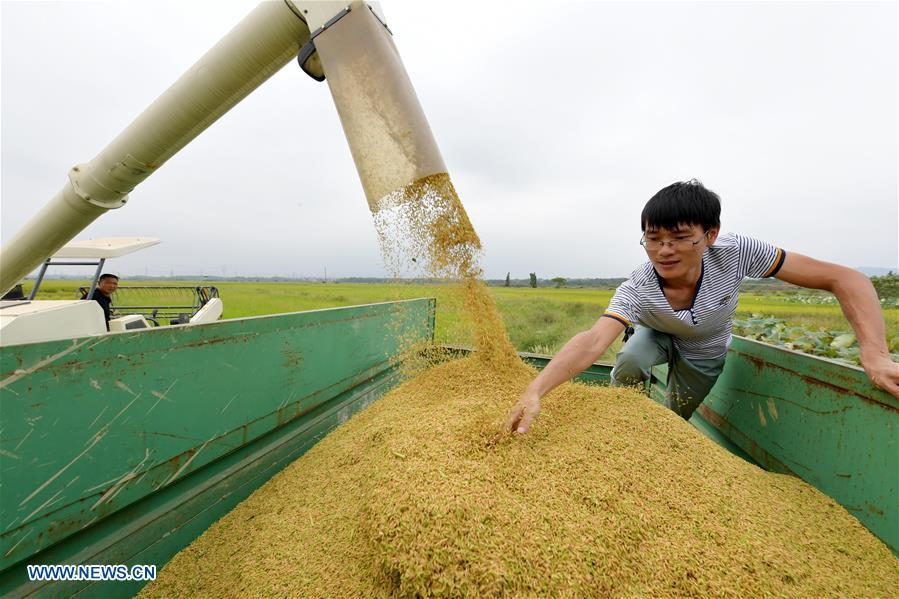Zhou Xiaolin (L) and Zhou Biao load harvested rice in Liutian Village of Xinjian District in Nanchang, east China\'s Jiangxi Province, Sept. 21, 2018. When every harvest season for middle-season rice begins in September, Zhou Xiaolin, a rice grower, and his son Zhou Biao will always offer help to other farmers with the harvest, because few families nearby own multiple farm machineries that suffice the workload. Born in Liutian Village, Zhou Xiaolin used to be a carpenter away from home. In 2005, he returned home to take on rice growing. Two years later, Zhou Xiaolin and Zhou Biao expanded the scale of their rice growing by contracting to take over the village\'s uncultivated croplands. To meet the increasing production demand, Zhou bought the first farm machine in the village. Currently, Zhou Xiaolin and Zhou Biao have nearly 50 hectares of farmland under cultivation in the village. Altogether they own two combine harvesters, two rice transplanters and a tractor, which have made production even more efficient. An increasing number of rice growers nearby have started to use Zhou Xiaolin\'s machines and services for a reasonable price. \
