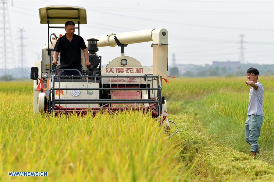 Zhou Xiaolin (L) and Zhou Biao harvest rice in Liutian Village of Xinjian District in Nanchang, east China\'s Jiangxi Province, Sept. 21, 2018. When every harvest season for middle-season rice begins in September, Zhou Xiaolin, a rice grower, and his son Zhou Biao will always offer help to other farmers with the harvest, because few families nearby own multiple farm machineries that suffice the workload. Born in Liutian Village, Zhou Xiaolin used to be a carpenter away from home. In 2005, he returned home to take on rice growing. Two years later, Zhou Xiaolin and Zhou Biao expanded the scale of their rice growing by contracting to take over the village\'s uncultivated croplands. To meet the increasing production demand, Zhou bought the first farm machine in the village. Currently, Zhou Xiaolin and Zhou Biao have nearly 50 hectares of farmland under cultivation in the village. Altogether they own two combine harvesters, two rice transplanters and a tractor, which have made production even more efficient. An increasing number of rice growers nearby have started to use Zhou Xiaolin\'s machines and services for a reasonable price. \