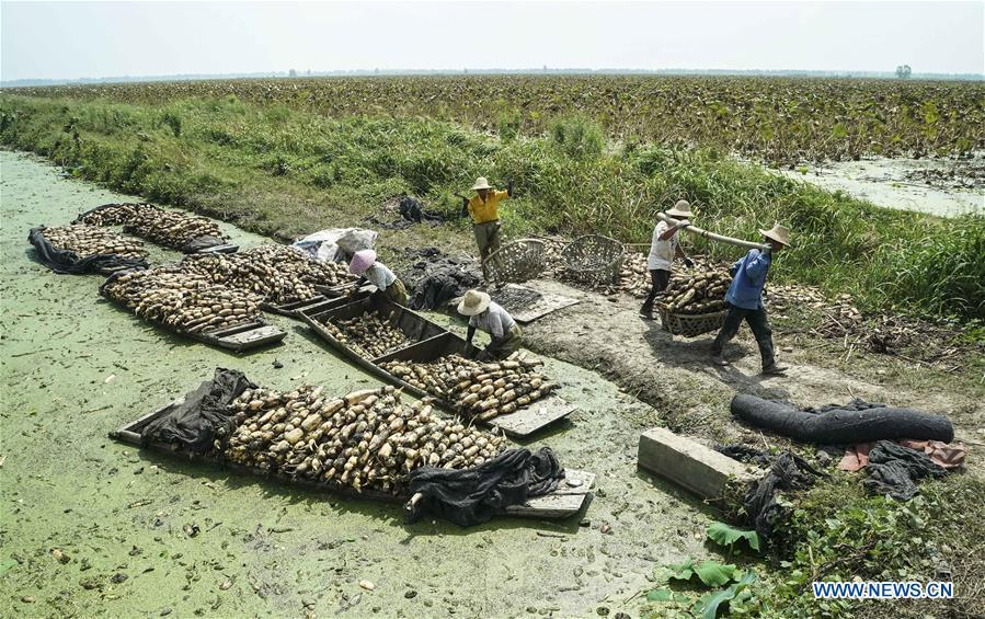 Workers carry harvested lotus roots in Chenhu Township of Hanchuan, central China\'s Hubei Province, Sept. 19, 2018. In Hubei Province, this year\'s autumn harvest of lotus roots is underway. Stooping down in waist-deep ponds with feet submerged in mud, each worker holds a high-pressure water gun in one hand and grope for ripe lotus roots with another. The lotus root is one of the most widely used aquatic vegetables in Chinese cooking. The total cultivation area of lotus roots in China is estimated between 3,300 and 4,000 square kilometers, making the country the largest lotus root producer in the world. In recent years, agricultural researchers in Hubei Province have cultivated and promoted new varieties of lotus roots to offer alternatives to producers and customers. (Xinhua/Yin Gang)