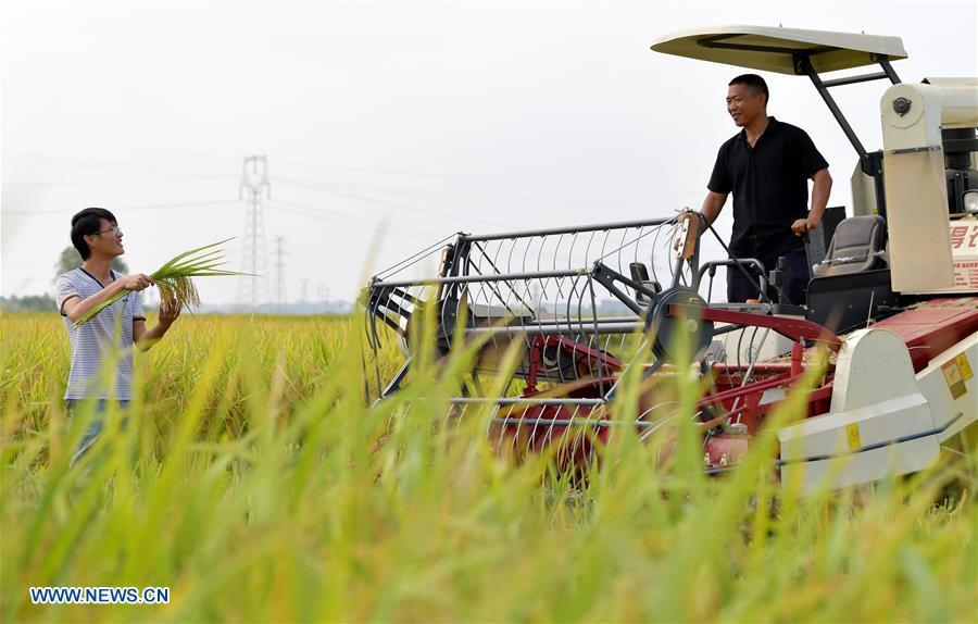 Zhou Biao (L) shows ripe rice crops to Zhou Xiaolin in Liutian Village of Xinjian District in Nanchang, east China\'s Jiangxi Province, Sept. 21, 2018. When every harvest season for middle-season rice begins in September, Zhou Xiaolin, a rice grower, and his son Zhou Biao will always offer help to other farmers with the harvest, because few families nearby own multiple farm machineries that suffice the workload. Born in Liutian Village, Zhou Xiaolin used to be a carpenter away from home. In 2005, he returned home to take on rice growing. Two years later, Zhou Xiaolin and Zhou Biao expanded the scale of their rice growing by contracting to take over the village\'s uncultivated croplands. To meet the increasing production demand, Zhou bought the first farm machine in the village. Currently, Zhou Xiaolin and Zhou Biao have nearly 50 hectares of farmland under cultivation in the village. Altogether they own two combine harvesters, two rice transplanters and a tractor, which have made production even more efficient. An increasing number of rice growers nearby have started to use Zhou Xiaolin\'s machines and services for a reasonable price. \