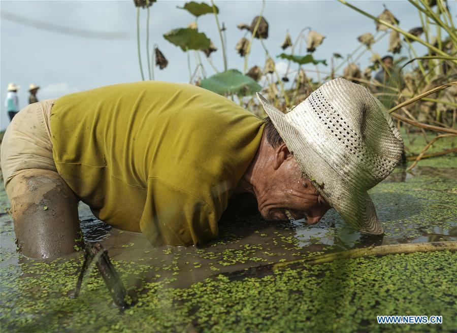 A worker digs lotus roots in Wudang Village of Jiangxia District in Wuhan, central China\'s Hubei Province, Sept. 18, 2018. In Hubei Province, this year\'s autumn harvest of lotus roots is underway. Stooping down in waist-deep ponds with feet submerged in mud, each worker holds a high-pressure water gun in one hand and grope for ripe lotus roots with another. The lotus root is one of the most widely used aquatic vegetables in Chinese cooking. The total cultivation area of lotus roots in China is estimated between 3,300 and 4,000 square kilometers, making the country the largest lotus root producer in the world. In recent years, agricultural researchers in Hubei Province have cultivated and promoted new varieties of lotus roots to offer alternatives to producers and customers. (Xinhua/Yin Gang)