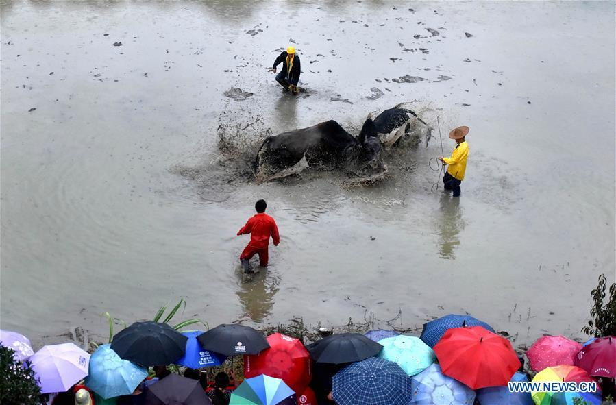 Villagers watch a buffalo fight in Housangyuan Village of Lyutan Township Wuyi County, east China\'s Zhejiang Province, Sept. 23, 2018. People across China hold various activities to celebrate the country\'s first Farmers\' Harvest Festival, which falls on Sept. 23 this year. (Xinhua/Zhang Jiancheng)