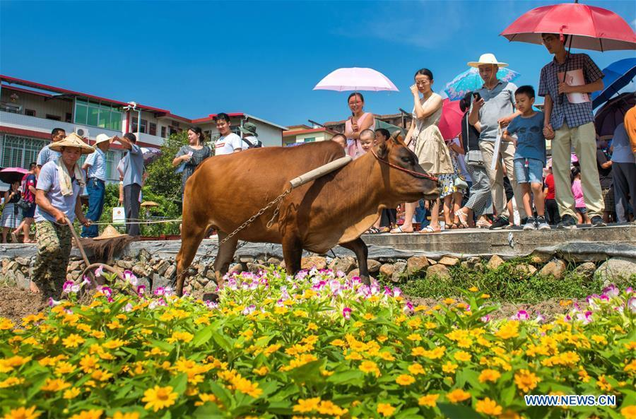 Tourists watch a ploughing performance in Yongchun County, southeast China\'s Fujian Province, Sept. 23, 2018. People across China hold various activities to celebrate the country\'s first Farmers\' Harvest Festival, which falls on Sept. 23 this year. (Xinhua/Kang Qingping)