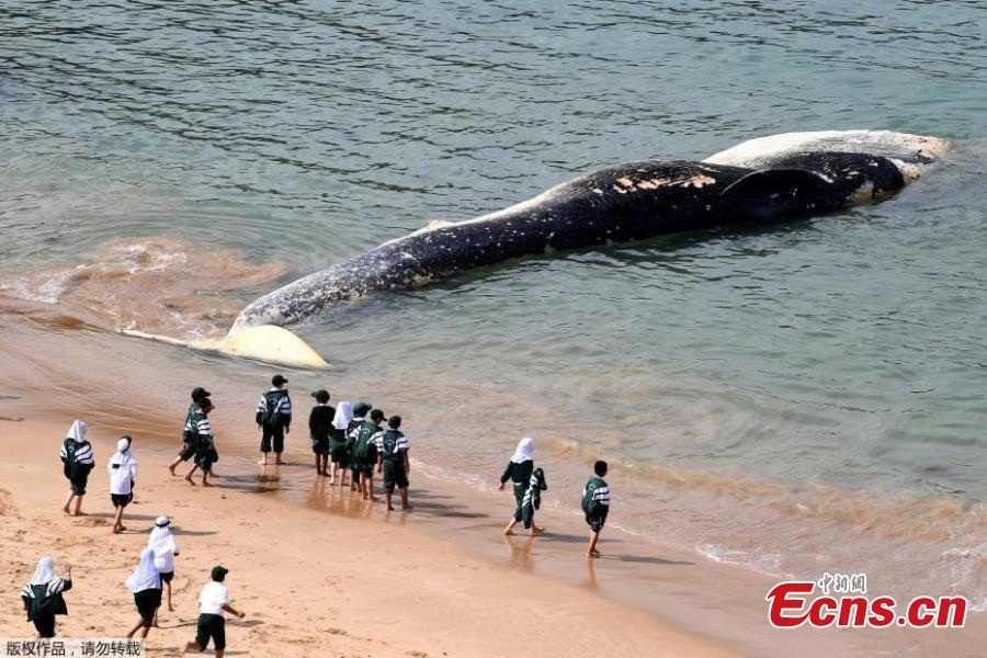 School children play in front of a whale carcass on Wattamolla Beach in the Royal National Park south of Sydney on September 24, 2018 in Sydney, Australia. The carcass is believed to be a rare Sei whale. (Photo/Agencies)