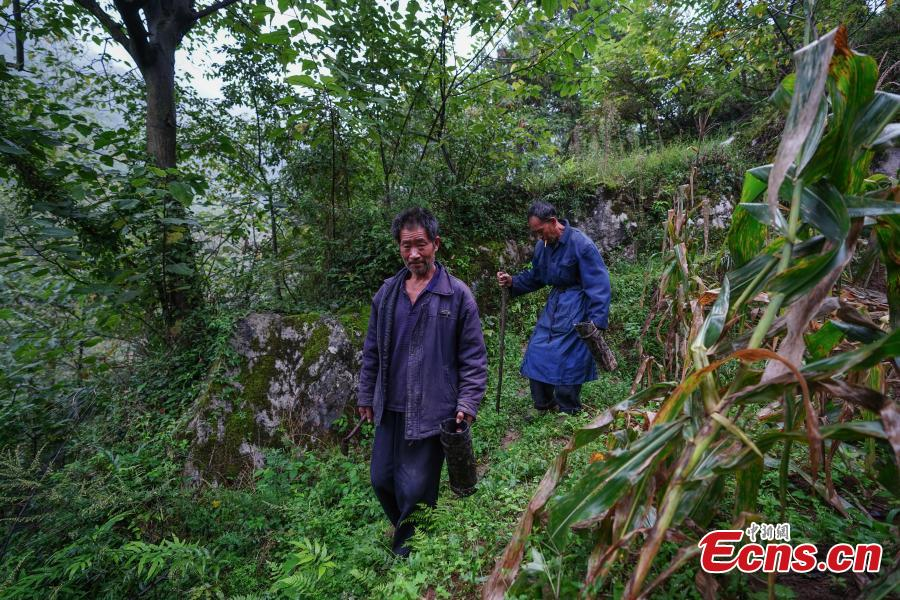 Hu Wenxun and his brother Hu Wenshun reap lacquer in Dafang County, Southwest China's Guizhou Province, Sept. 23, 2018. The period from early summer to late autumn each year is said to be the best time to reap lacquer in the mountainous county, which has seen a rapid increase in online sales of the product. (Photo: China News Service/He Junyi)