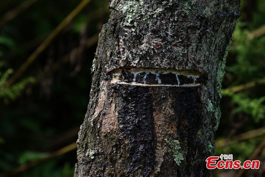 A man cuts open a tree to take sap, which is used to make a durable coating called lacquer, in Dafang County, Southwest China's Guizhou Province, Sept. 22, 2018. The period from early summer to late autumn each year is said to be the best time to reap lacquer in the mountainous county, which has seen a rapid increase in online sales of the product. (Photo: China News Service/He Junyi)
