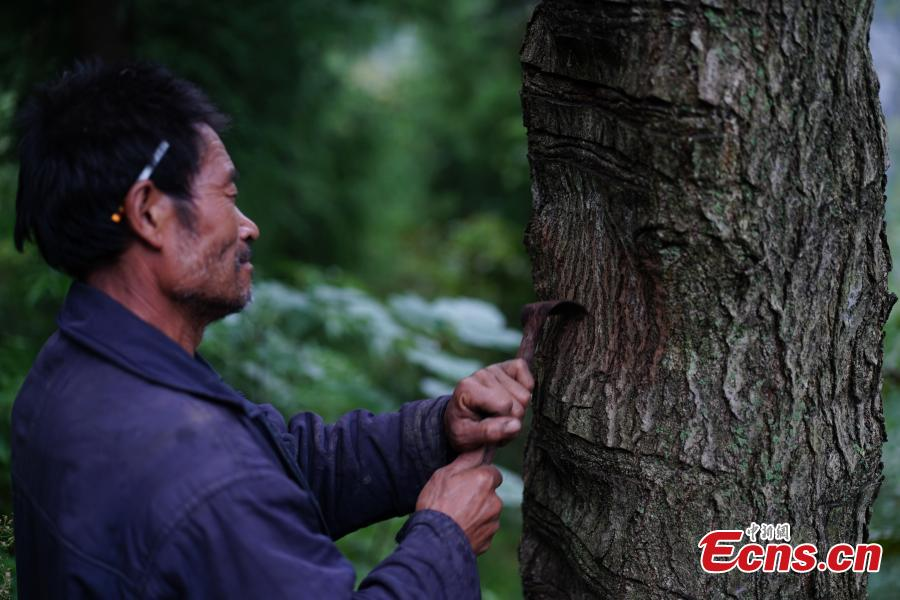 Hu Wenxun, 58, cuts open a tree to take sap, which is used to make a durable coating called lacquer, in Dafang County, Southwest China's Guizhou Province, Sept. 23, 2018. The period from early summer to late autumn each year is said to be the best time to reap lacquer in the mountainous county, which has seen a rapid increase in online sales of the product. (Photo: China News Service/He Junyi)