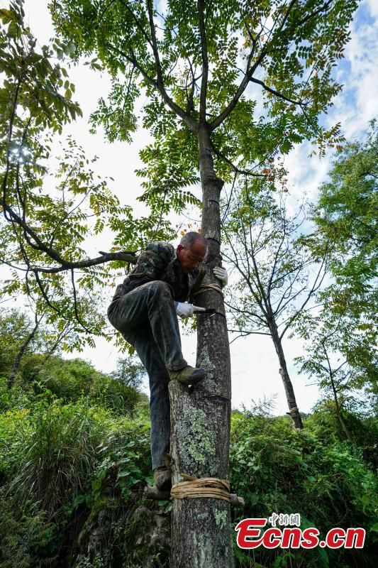 Liu Minghe, 48, cuts open a tree to take sap, which is used to make a durable coating called lacquer, in Dafang County, Southwest China's Guizhou Province, Sept. 22, 2018. Liu said he earns about 30,000 yuan ($4,370) from April to September from the traditional craft. (Photo: China News Service/He Junyi)