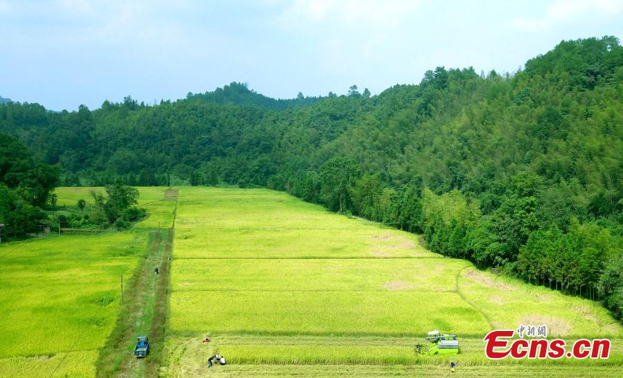A drone photo shows rice harvesting in a field in Taihe County, East China's Jiangxi Province, Sept. 25, 2018. The county is one of China's commodity grain bases. (Photo: China News Service/Sima Tianmin)