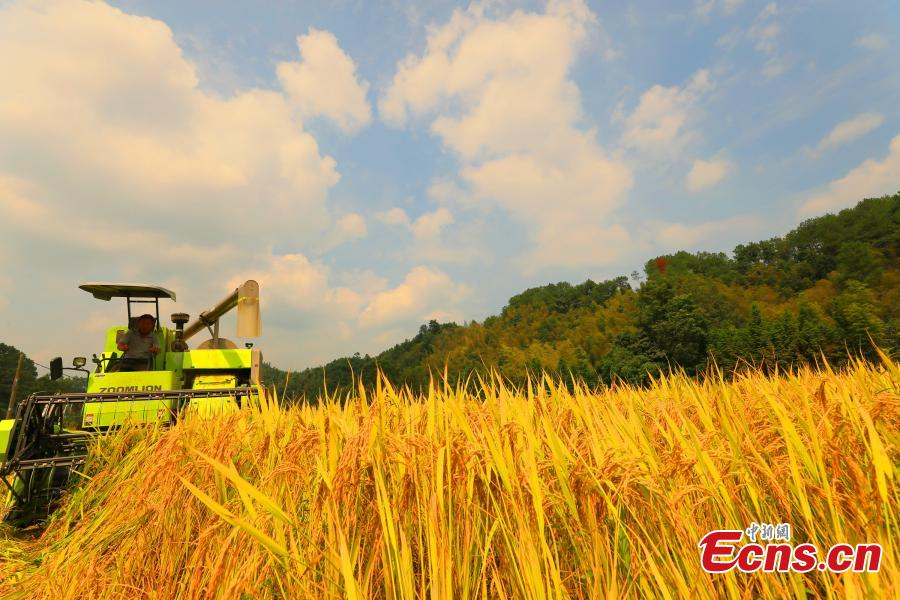Farmers harvest rice in a field in Taihe County, East China's Jiangxi Province, Sept. 25, 2018. The county is one of China's commodity grain bases. (Photo: China News Service/Deng Heping)