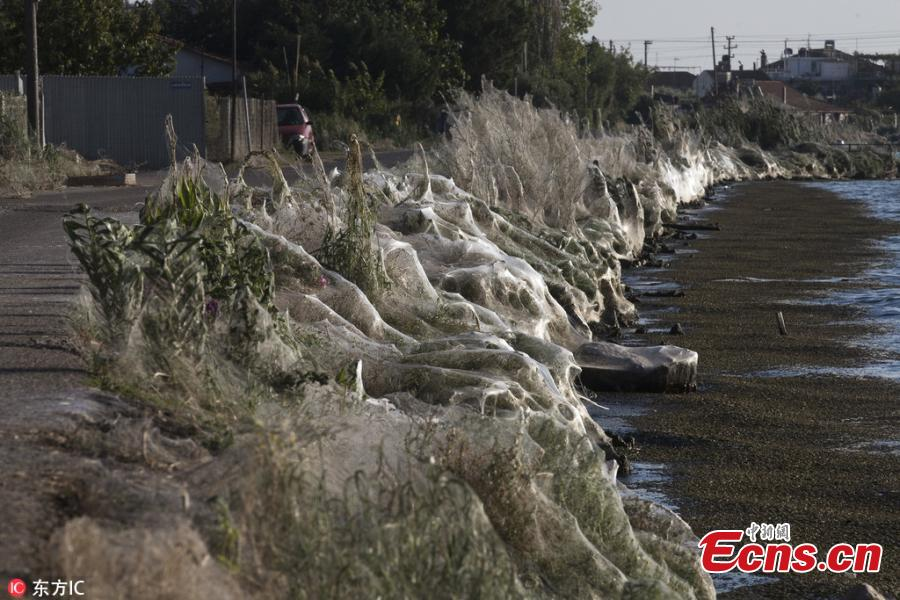 Amid favorable weather conditions and an abundance of food, an explosion in the population of spiders in the western Greek town of Aitoliko has covered more than 300 meters of coastline in thick, cloud-like webs. Bushes and large trees were surrounded in the silvery substance. (Photo/IC)