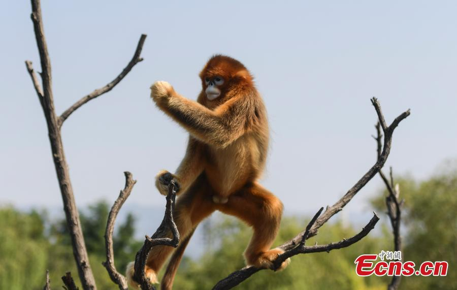 A snub-nosed monkey plays at Wild World in Jinan City, East China's Shandong Province, Sept. 27, 2018. (Photo: China News Service/Zhang Yong)
