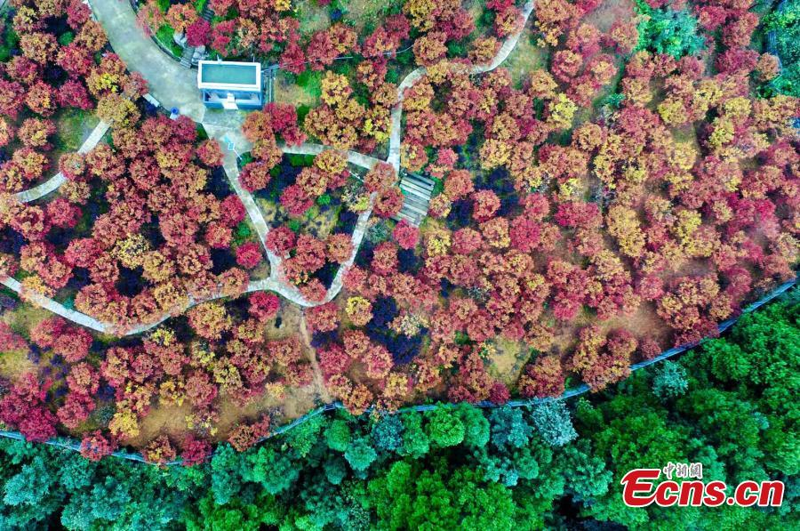 A red maple forest in Bana District, Southwest China's Chongqing Municipality, Sept. 27, 2018. A festival will take place until late November as the leaves change color on the various maple species, covering an area of 33 hectares. (Photo: China News Service/Li Hua)