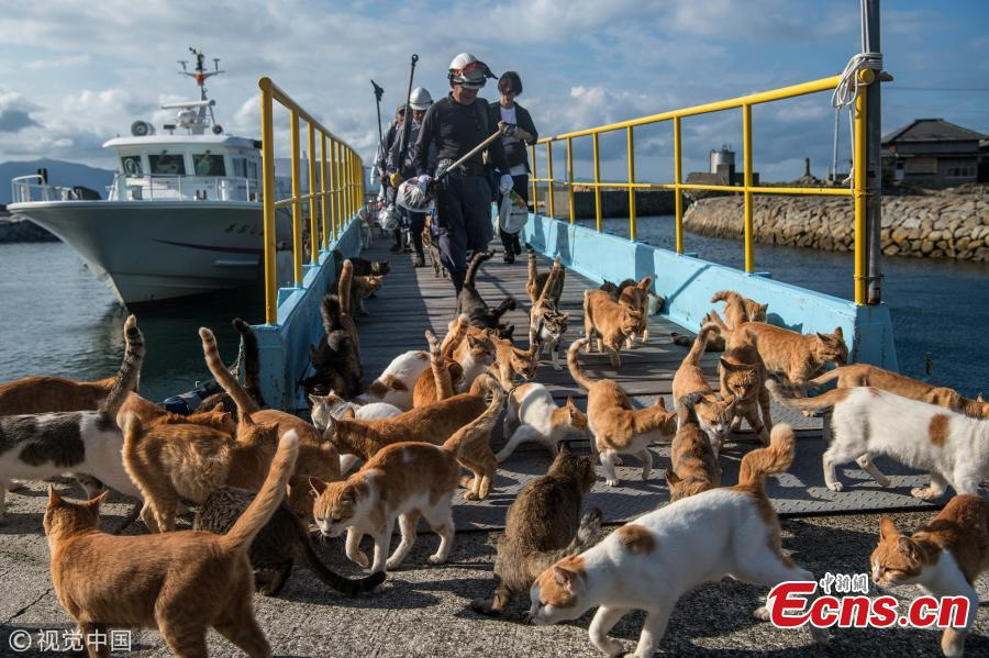 Cats wait by a walkway as people disembark from on a ferry on September 27, 2018 in Aoshima, Japan. Aoshima island has come to be known for its large number of felines which now outnumber humans by approximately ten to one. They were introduced on ships in the area but remained on the island and repopulated with estimates placing the current population at around 200 compared to a human population of just nine. Like many rural areas of Japan, large numbers of residents have left the community to seek better job prospects in cities and the people now remaining, and often feeding the cats, are all pensioners. (Photo/Agencies)