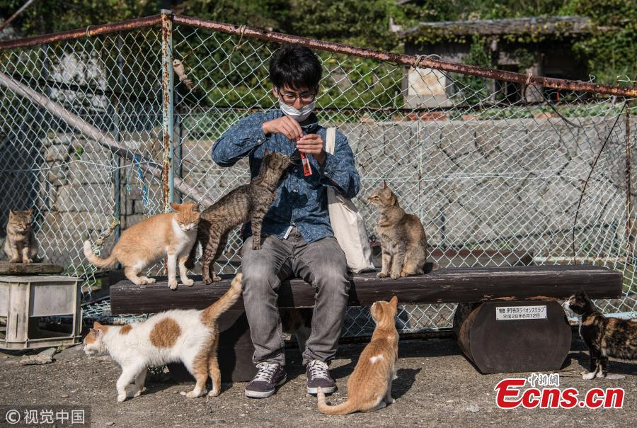 Cats crowd around a tourist as he prepares to feed them on September 27, 2018 in Aoshima, Japan. Aoshima island has come to be known for its large number of felines which now outnumber humans by approximately ten to one. They were introduced on ships in the area but remained on the island and repopulated with estimates placing the current population at around 200 compared to a human population of just nine. Like many rural areas of Japan, large numbers of residents have left the community to seek better job prospects in cities and the people now remaining, and often feeding the cats, are all pensioners. (Photo/Agencies)