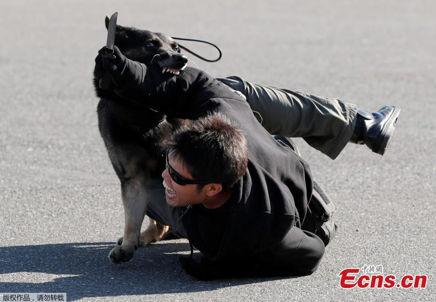 A police officer role playing a suspect is attacked by a police dog during Tokyo 2020 and Tokyo Metropolitan Police Department Security Tests and Joint Drills ahead of the 2020 Olympics in Tokyo, Japan, September 28, 2018. (Photo/Agencies)