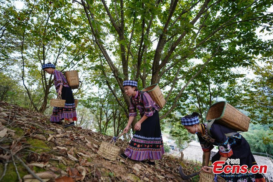 Women of Bouyei ethnic group shows newly harvested Chinese chestnut at a village in Wangmo County, Southwest China's Guizhou Province, Sept. 28, 2018. The county has supported development of Chinese chestnut as a major way to boost local farmer's income and shake off poverty. The chestnut planting area reached (13,000 hectares) this year, with an annual output value of about 168 million yuan ($24 million), and more than 18,000 families benefited from the sector. (Photo: China News Service/He Junyi)